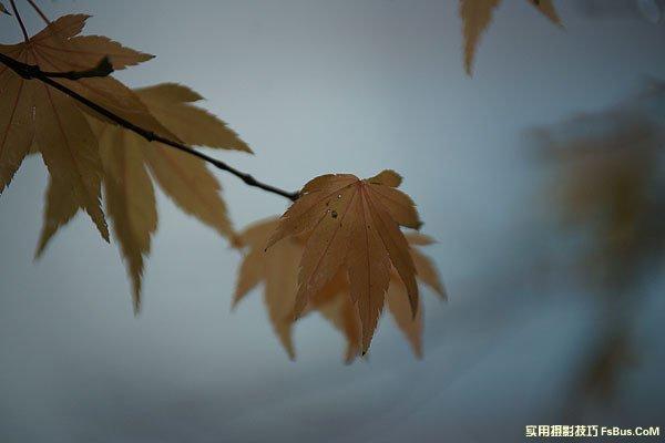 空气感枫叶,利用雨天拍出冷冽感